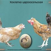 Суточный молодняк птицы Хохлатка царскосельская фото