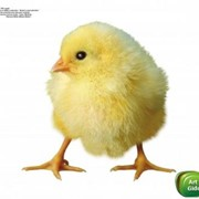 Премикс Витамит - цыпленок фото