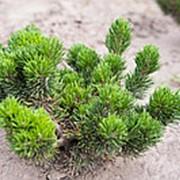 Сосна горная Якобсен (Pinus mugo Jakobsen) фото