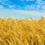 Аммиак содействует повышению урожайности и качеству зерна фото
