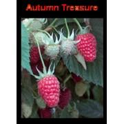 Саженцы малины сорта Отм Треже Autumn Treasure продажа даставка Новой почтой! фото