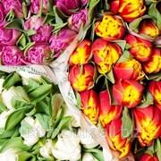 Тюльпаны к 8 Марта, Минск фото