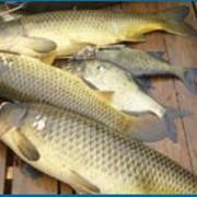 Промышленный вылов рыбы фото
