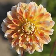 Георгина Peaches and Cream фото