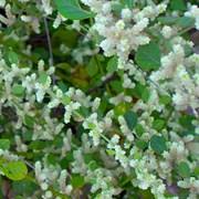 Трава Пол-полы (Эрва шерстистая) фото