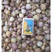 Чеснок семена (воздушка, зубок,однозубка) сорта Любаша и Дюшес фото