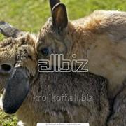 Кроли мясного направления фото