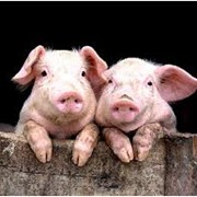 Комбикорм для свиней СПК-4 фото