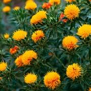 Семена Сафлора - РСт фото