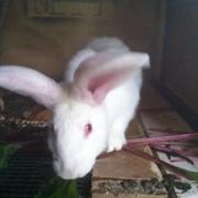Продаются кролики разных пород фото