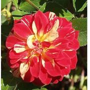 Розы бордюрные Bicoudi Meillizet фото