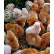 Выращивание цыплят и утят на Украине фото