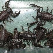 Скорпионы императорские фото