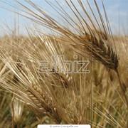 Выращивание зерновых технических культур фото