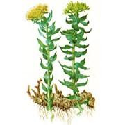 Rhodiola rosea L. (golden root) фото