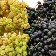 Столовые сорта винограда фото