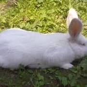 Кролики племенные Термонской породы фото