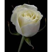 Роза Вендела фото