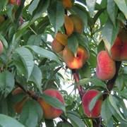 """Персики сорта """"Инжирный"""" фото"""