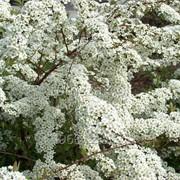 Спирея острозазубренная Spiraea arguta, h см 30-40 фото