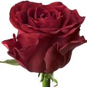 Роза различных сортов фото
