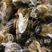 Пчеломатки продажа фото