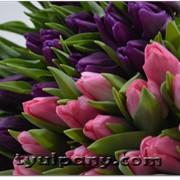 Луковицы тюльпанов голландских сортов фото