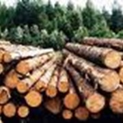 Лес строительный (сосна) фото