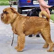 Собаки гриффоны фото