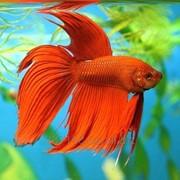 Рыбки петушок вуалевый фото