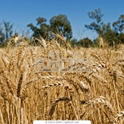 Пшеница 3 класс, экспорт фото