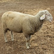 Племенные овцы немецкий мериноладшаф и дорпер  фото