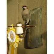 Изготовление чучел и оформление охотничьих трофеев фото