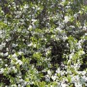 Терн колючий (цвет) 30г фото
