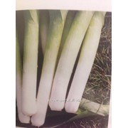 Семена лука на перо Порбелла фото