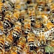 Реализация пчелосемей. фото