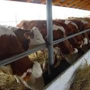 Искусственное осеменение крупного рогатого скота фото