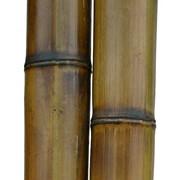 Бамбук. Ствол диаметр 8-9 см. фото