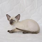 Сиамский породистый котенок фото