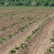 Картофель сортовой купить, сортовой картофель Украина фото