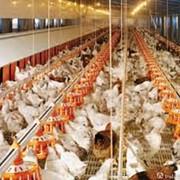 Птичники под ключ от Голландской компании Brodhan Agri Equipment BV, brodhan.com фото