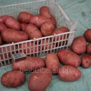 Картофель семенной Альвара 1 РС фото