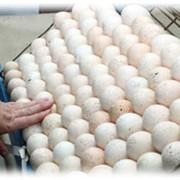 Инкубационное яйцо индейки фото