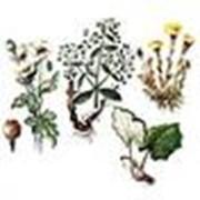 Закупка сырья лекарственных растений: Чистотела, Шалфея, Шиповника, Эхинацеи пурпурной, Aира, Алтея, Полыни, Семена льна, Укропа пахучего, Эвкалипт. фото