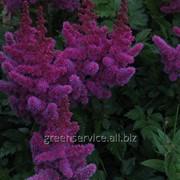 Астильба Purple Rain 2/3 фото