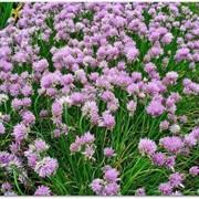 """Шнитт-лук (Alium schoenoprasum) """"Forescate"""" фото"""
