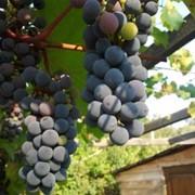 Виноград амурский на экспорт оптом фото