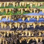 Пчеломатка неплодная Закарпатье, Украина фото