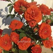 Саженцы плетистых роз Монтеагро (Сербия) с ЗКС. фото