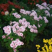 Хризантема веточковая, для украшения участка и букетов. фото